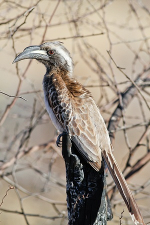 African Grey Hornbill sitting on log Stock Photo - 10540396