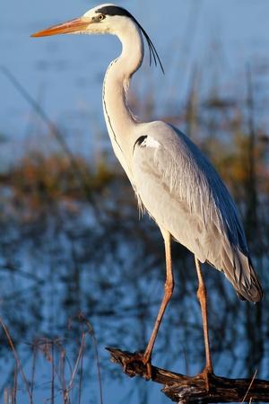 airone: Great Blue Heron (Ardea herodias) in piedi in un registro si affaccia su un lago