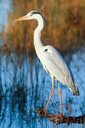 Great Blue Heron (Ardea Herodias) stehen in einem Protokoll mit Blick auf einen See Standard-Bild