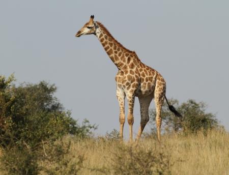 savana: Giraffe standing in savana grass