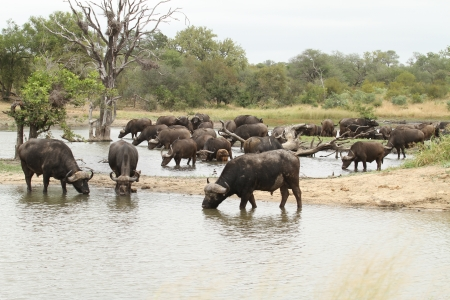 African Buffalo standing in water photo