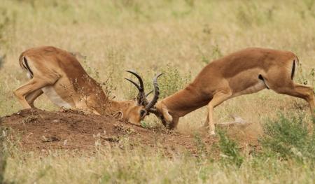 antelope impala male in wild nature Africa  Stock Photo