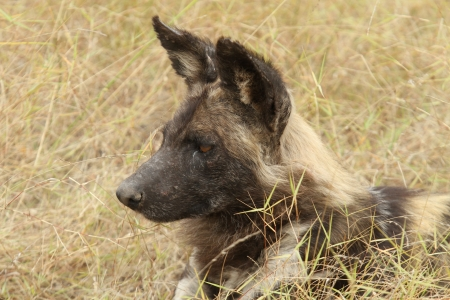 lycaon pictus: African Wilddog or Cape Hunting Dog  Lycaon pictus  Portrait