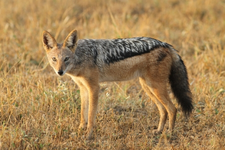 Black backed jackal Stock Photo - 14344463