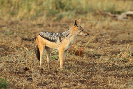 Black backed jackal Stock Photo - 14344445