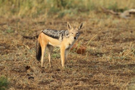 Black backed jackal photo