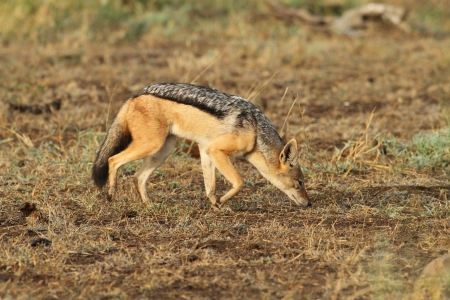 Black backed jackal Stock Photo - 14344438