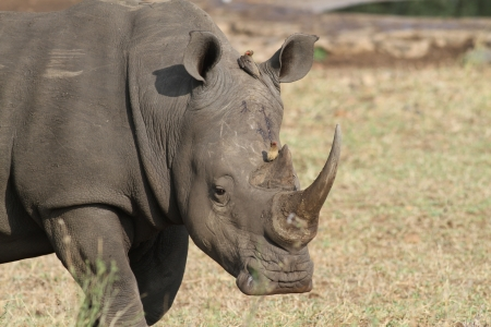 mutualism: An adult white rhino bull in Kruger national park, south africa Stock Photo
