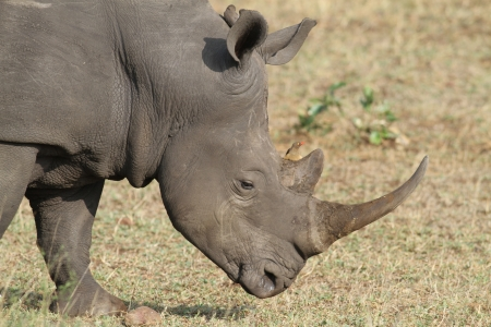 oxpecker: An adult white rhino bull in Kruger national park, south africa Stock Photo
