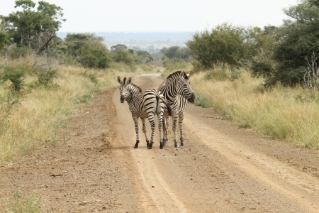 A Burchells Zebra  Equus quagga burchelli  in the Kruger Park, South Africa  photo