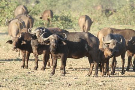 grazer: African Buffalo