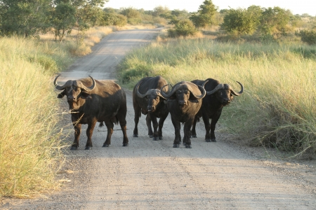 African Buffalo standing in road  roadblock  photo