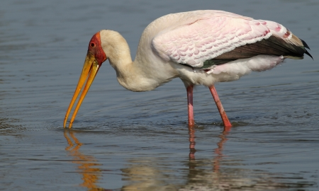 lake naivasha: Yellow-billed Stork  Mycteria ibis  Stock Photo