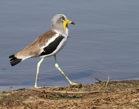 lapwing: White crowned lapwing Stock Photo