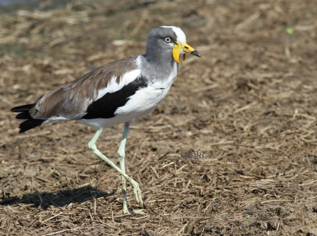 birdlife: White crowned lapwing Stock Photo