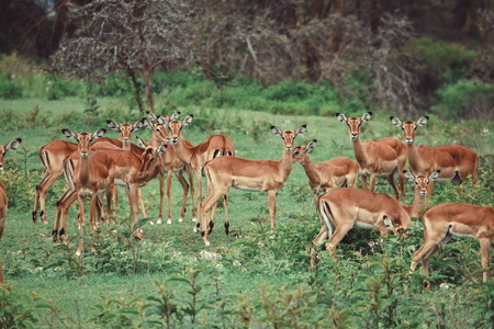 A herd of antelopes at Crater Lake Game Sanctuary, Naivasha, Kenya