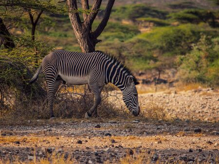 A grazing zebra in Samburu national Reserve, Kenya
