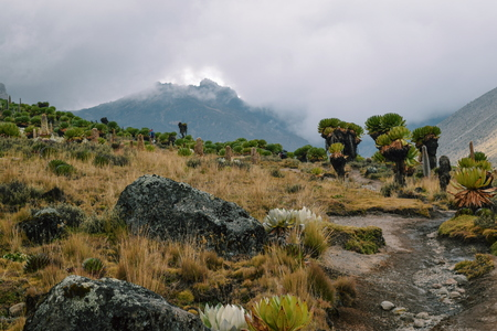 Giant groundsels against a mountain bcakground, Mount Kenya
