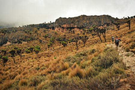 Giant groundsel in the volcanic landscapes of Mount Kenya