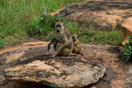 A baboon with two babies sitting on a rock at Tsavo West National PARK, Kenya