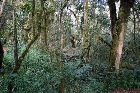 Plant life in the heather moorland zone of Mount Kilimanjaro, Tanzania Stock Photo