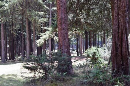 A pine forest in the panoramic mountain landscapes of Aberdare Ranges, Kenya