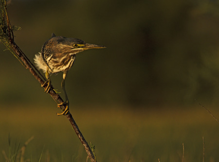 striated: Striated heron fishing with the last afternoon sun