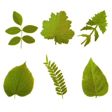 chlorophyl: Six green leaves of summer on white background