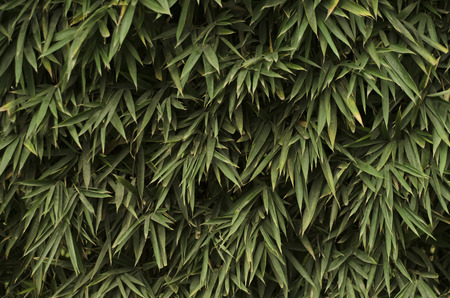 appoints: Regular background green bamboo leaves cascading like a plant wall