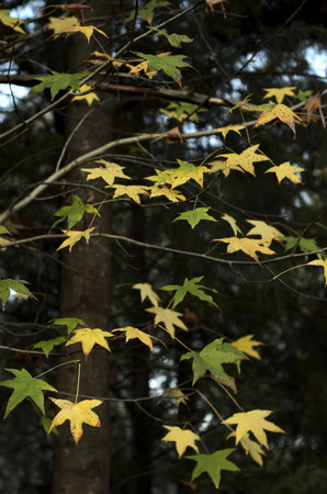 appoints: Green and yellow leaves of oak like floating in space Stock Photo