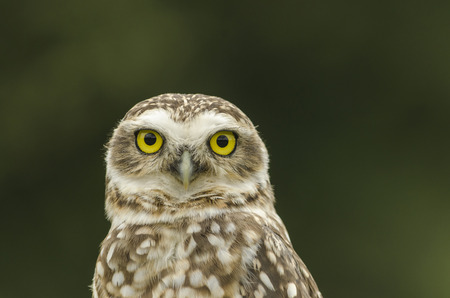abductor: Portrait of owl looking at camera with piercing gaze Stock Photo