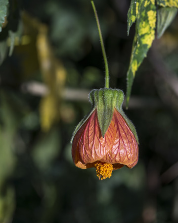 Abutilon flower hanging isolated on a dark green background