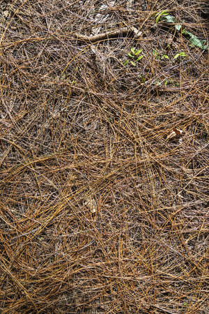 occupying: background of pine needles occupying the whole picture