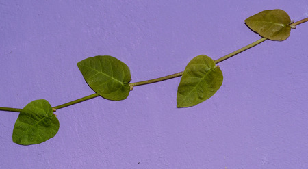 Vine in approach on a lilac wall