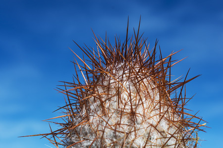 Cardon, typical Atacama desert cactus in Argentina, Chile and Bolivia