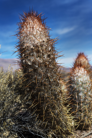 Cardon, typical Atacama desert cactus in Argentina, Chile and Bolivia