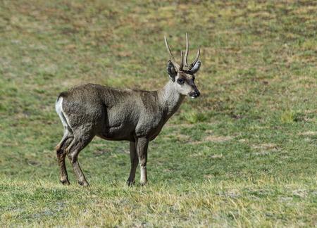 hippocamelus antisensis, also called Taruca or Andean deer or huemul