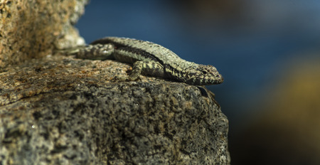 Lizard sunning on a rock with blue sea as background Stock Photo