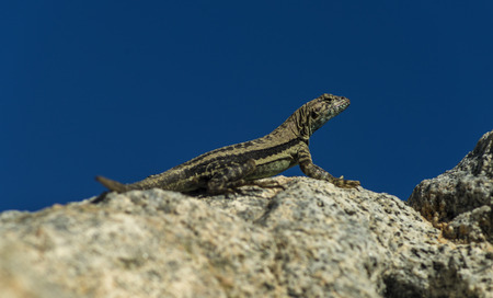 sunning: Lizard sunning on a rock with blue sky as background