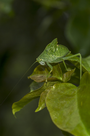 green locust with long antennae walking on a leaf on dark background
