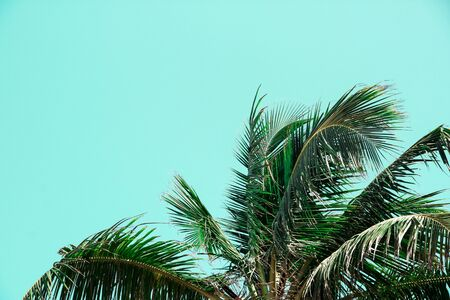 Bright tropical background with green leaves of a coconut on a blue background, fashion summer concept