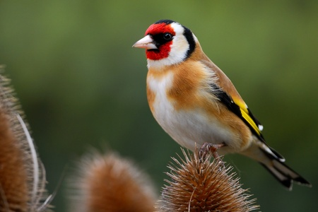Goldfinch perches on teasel Stock Photo