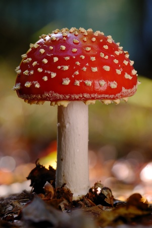 fairy toadstool: A young Fly Agaric fungi in Bich woodland leaf litter in oxfordshire Stock Photo