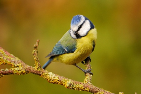 Blue tit on garden perch