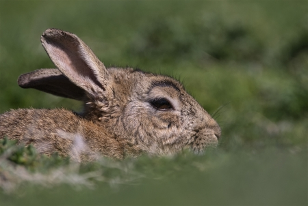 leporidae: A Skokholm Island rabbit hides in the grass Stock Photo