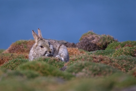 leporidae: A Skokholm Island Rabbit scratching itself whilst sitting in a patch of sea cushions