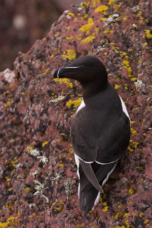 cliff top: A  Razorbill sits on the edge of a cliff top breeding colony on Skokholm Island