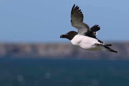 skomer island: A Razorbill in flight over Skokholm Island with the coast of Skomer Island in the background