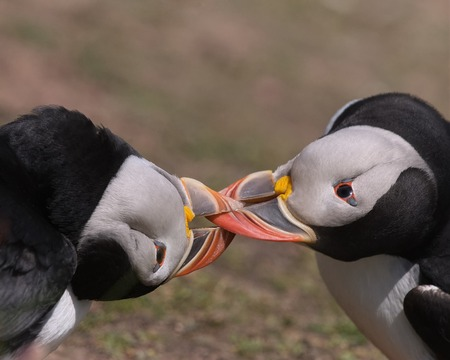 wrestle: Two Atlantic Puffins wrestle with each other for dominance by locking their beaks during the breeding season on Skokholm Island