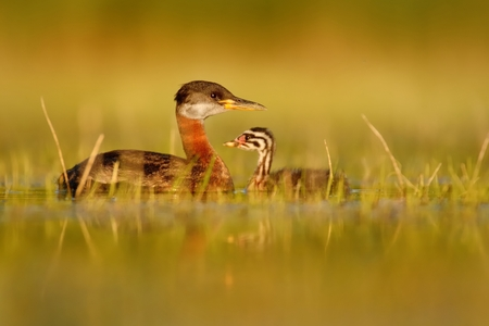 young bird: Red-necked Grebe (Podiceps grisegena) with young bird on the lake in spring Stock Photo